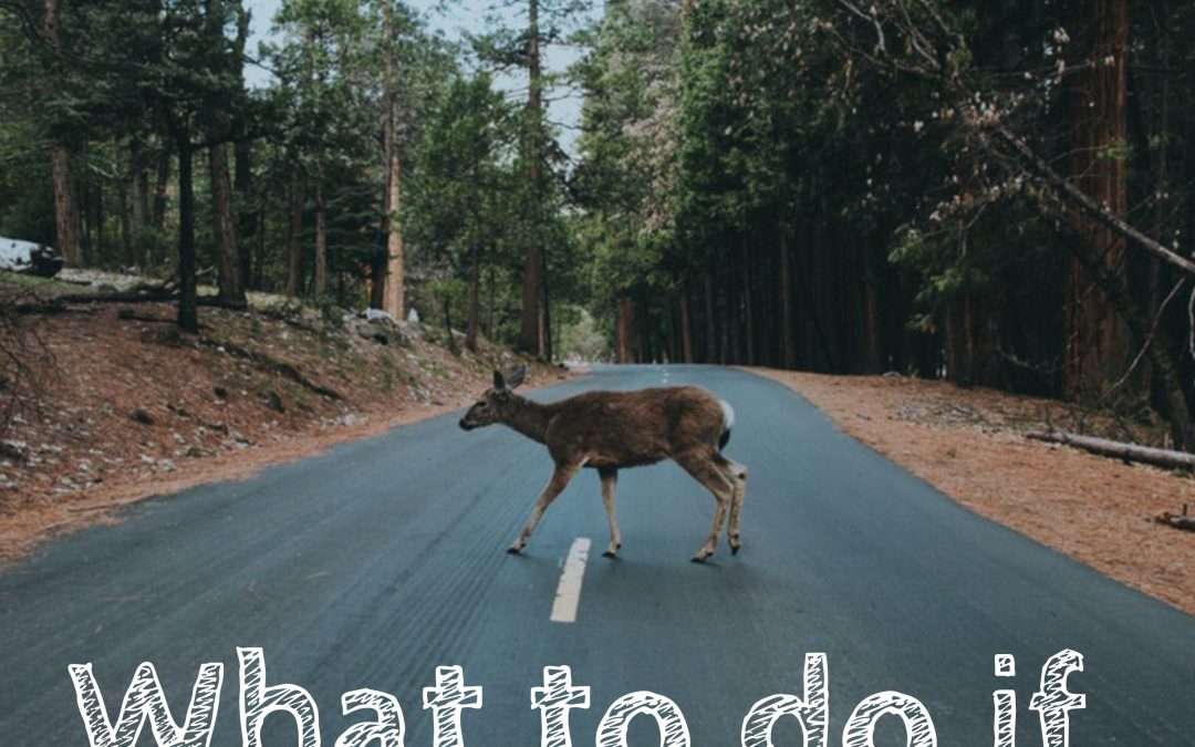 What to Do if You Encounter an Animal on the Road